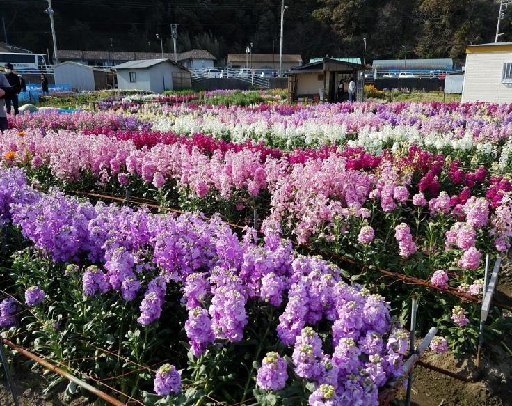 Shiramazu flower fields